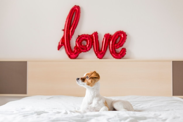 Retrato de un joven hermoso perro lindo y pequeño sentado en la cama y mirando por la ventana en casa