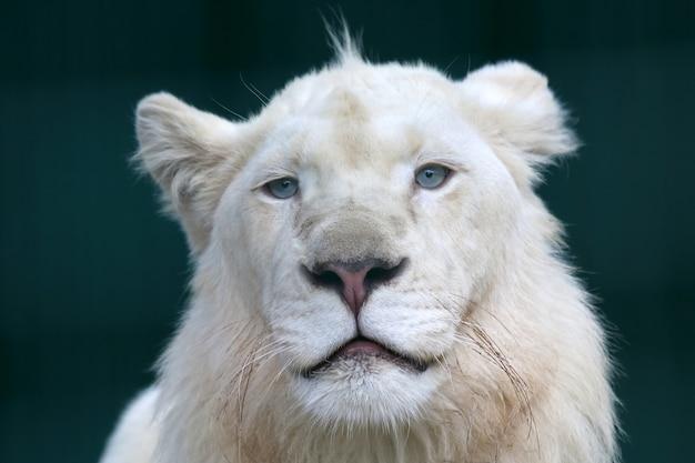 El retrato de un joven león blanco