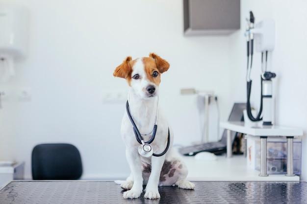 Retrato de un joven perro blanco y marrón con un estetoscopio