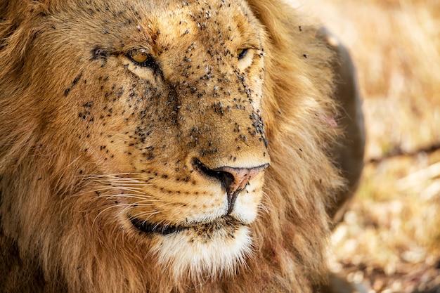 Retrato de león macho