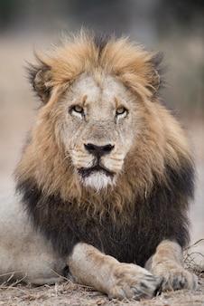 Retrato de león tendido en el suelo