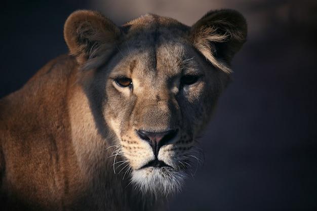 Retrato, de, un, leona, cicatrizarse
