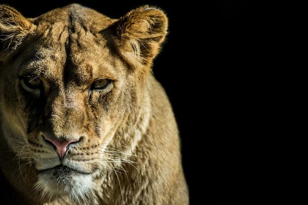 Retrato de leona en fondo negro con espacio de copia