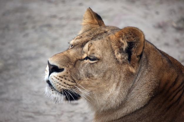 Retrato, de, un, leona, mirar hacia el lado