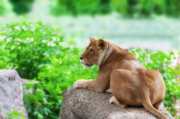 Retrato, de, un, leona, relajante, en, pasto o césped