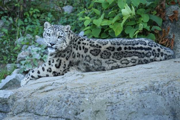 Retrato de leopardo de las nieves en una luz increíble