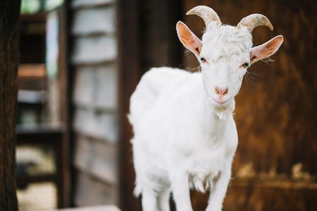 Retrato de una linda cabra bebé en el granero