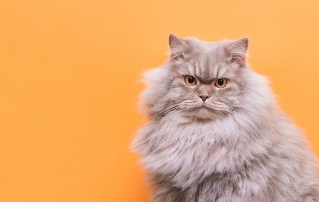 Retrato de una linda mascota esponjosa, un gato sobre un fondo naranja mira a la cámara.
