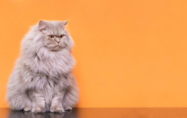 Retrato de una linda mascota esponjosa, un gato sobre un fondo naranja mira a un lado el lugar para el texto.