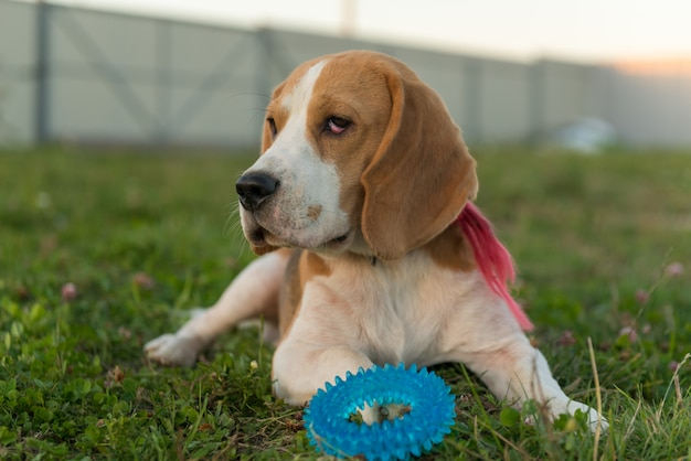 Retrato lindo del beagle