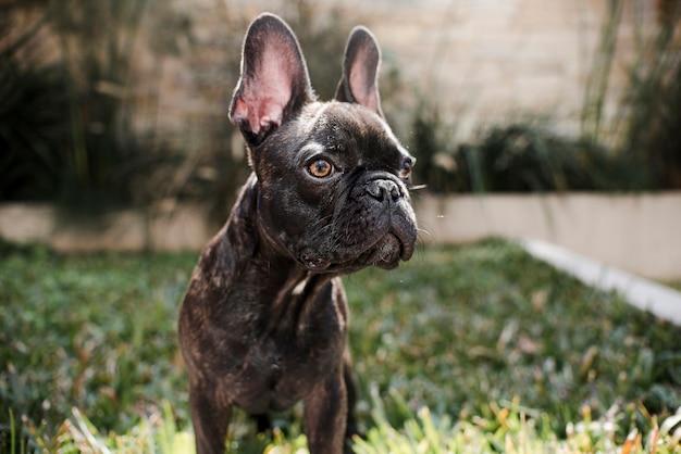 Retrato de lindo bulldog francés pequeño al aire libre