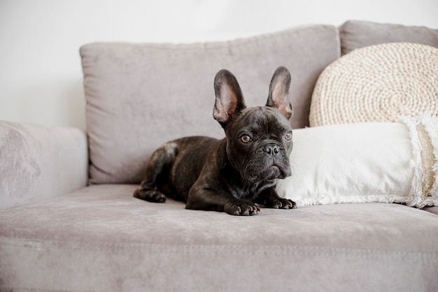 Retrato de lindo bulldog francés