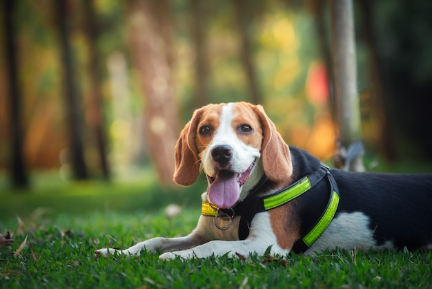 Retrato de lindo cachorro beagle en el jardín