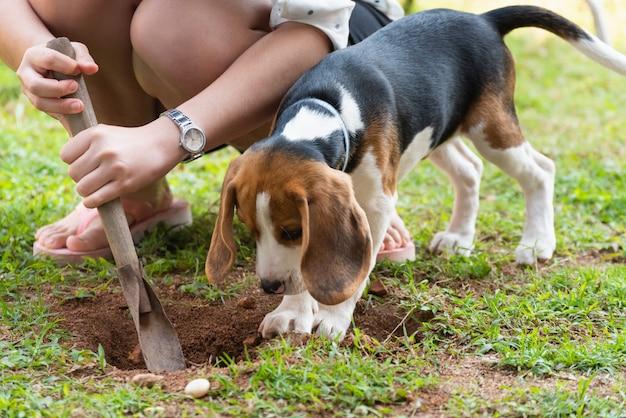 Retrato de lindo cachorro beagle de pie en el césped
