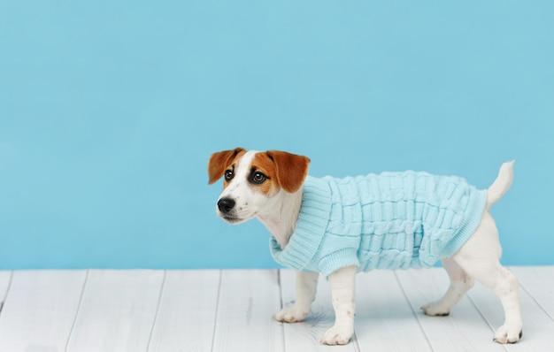 Retrato de lindo cachorro en blusas tejidas, estudio corto
