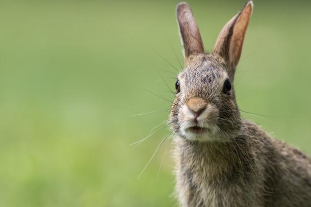 Retrato de un lindo conejito gris
