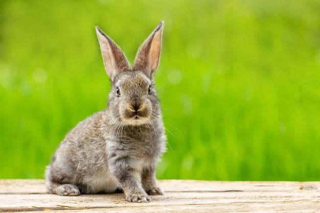 Retrato de un lindo conejo gris esponjoso con orejas sobre un fondo verde natural