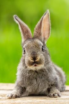 Retrato de un lindo conejo gris esponjoso con orejas