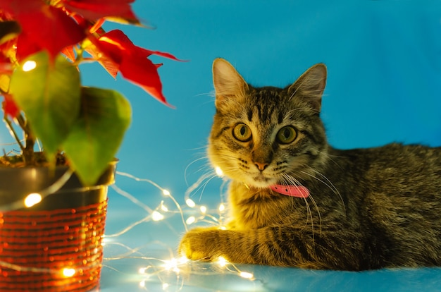 Retrato de lindo gatito junto a la olla con flor de pascua con luces de navidad fondo azul