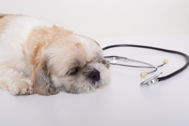Retrato de un lindo joven pekinés pequeño perro acostado en el piso blanco cerca del estetoscopio