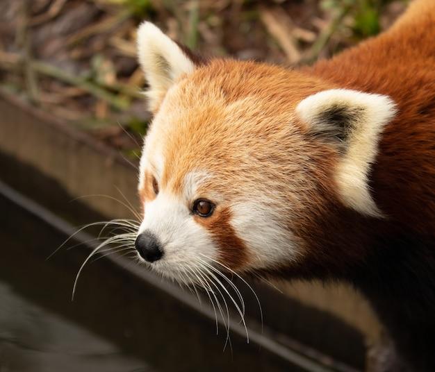 Retrato de un lindo panda rojo