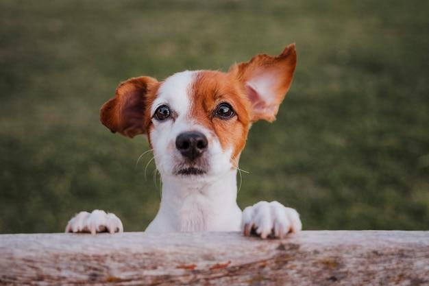 Retrato de lindo pequeño jack russell terrier de pie sobre dos patas en el césped en un parque