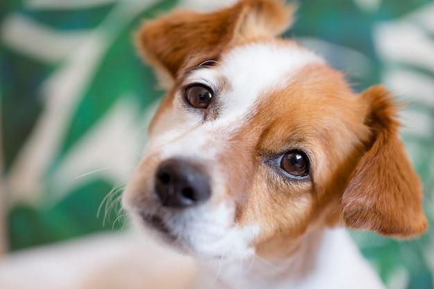 Retrato de un lindo pequeño perro blanco y marrón sentado en la cama. mascotas en interiores. pared blanca