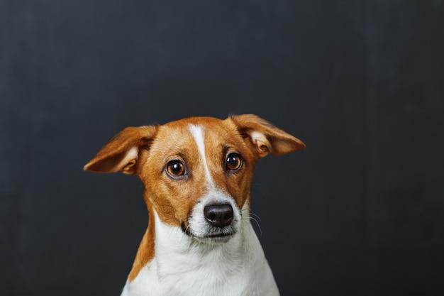 Retrato lindo para el perro del terrier de russell del enchufe, en fondo gris.