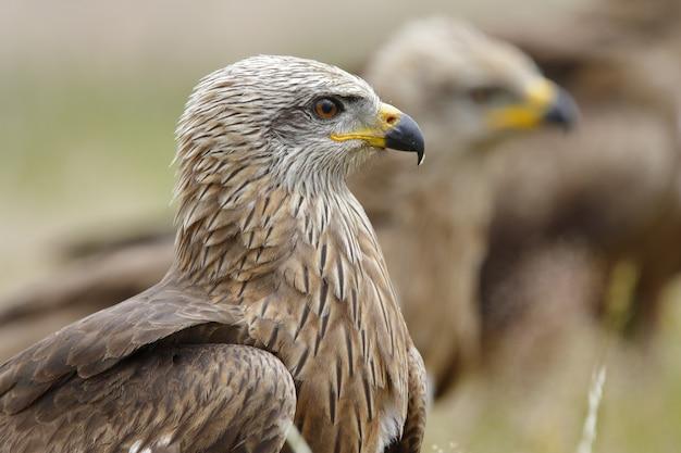 Retrato de una magnífica águila real entre una manada en un campo