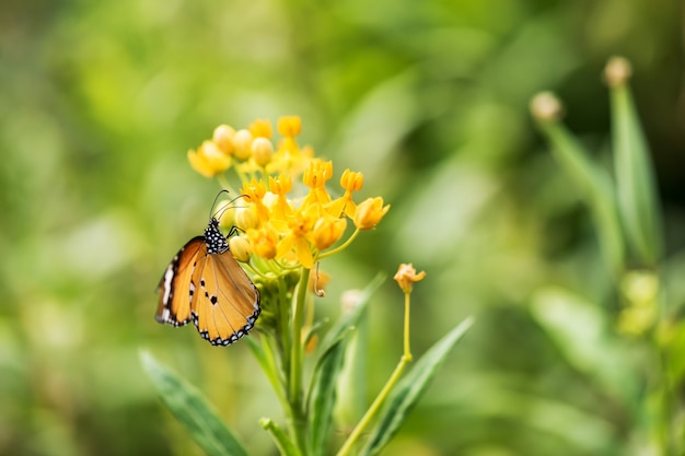 Retrato de mariposa monarca naranja