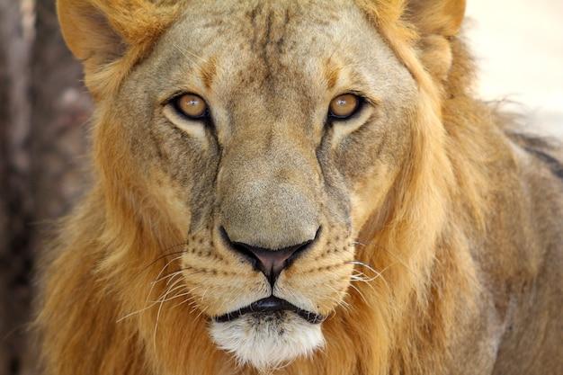 Retrato masculino del león africano (panthera leo)