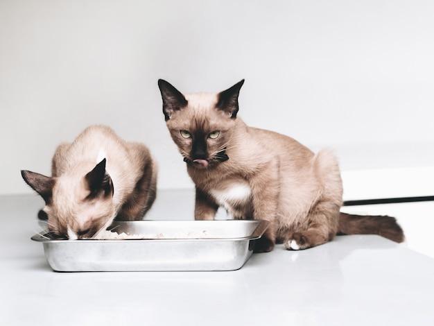 Retrato de un mínimo gato doméstico mirando el tazón de comida