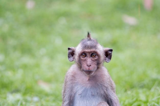 Retrato de mono joven entrecerrando los ojos, tailandia. mono joven lindo y divertido sentado en el campo de hierba verde en el bosque. animales divertidos. pequeño mono macaco. bebé mono