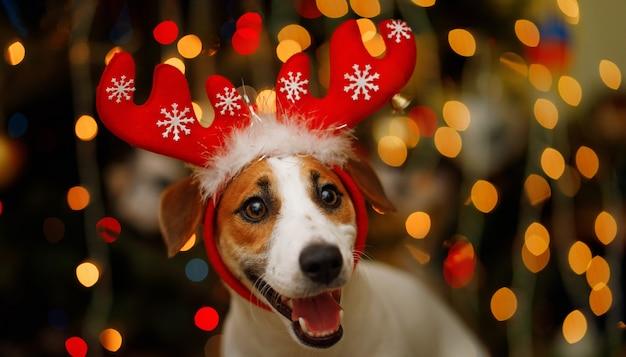 Retrato de navidad de jack russell en traje de renos.