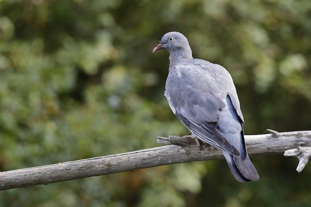 Retrato de una paloma gris sentada en la rama de un árbol