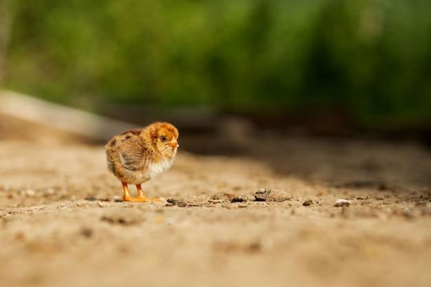 Retrato de pascua pequeño pollo amarillo esponjoso caminando en el patio de la aldea en un día soleado de primavera.