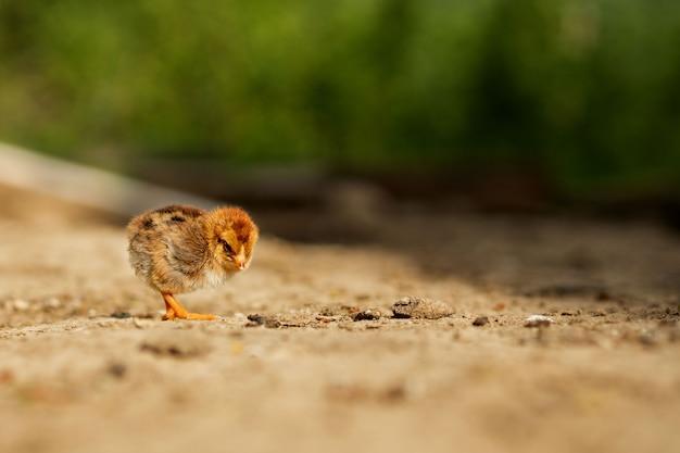 Retrato de pascua pequeño pollo amarillo esponjoso caminando en el patio del pueblo en un soleado día de primavera