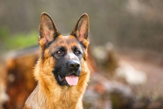 Retrato de un pastor alemán en un parque. perro de raza pura.