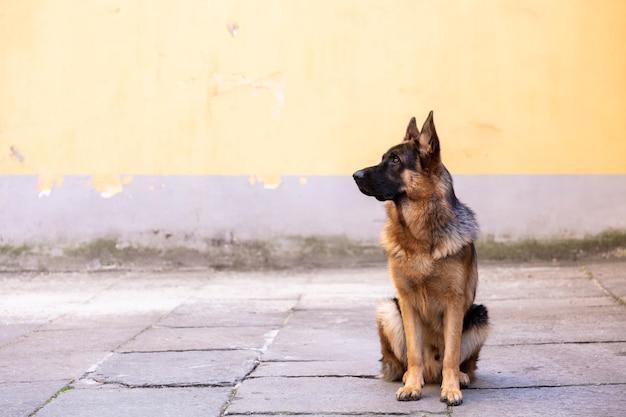 Retrato de pastor alemán en un patio