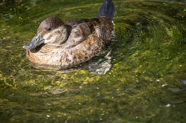 Retrato de pato salvaje nadando en el agua