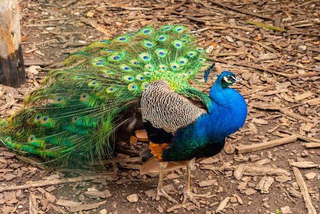 Retrato de pavo real hermoso con plumas hacia fuera