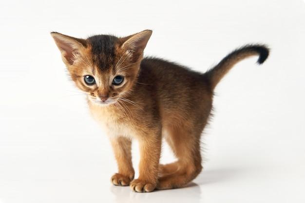 Retrato de un pequeño gatito marrón divertido