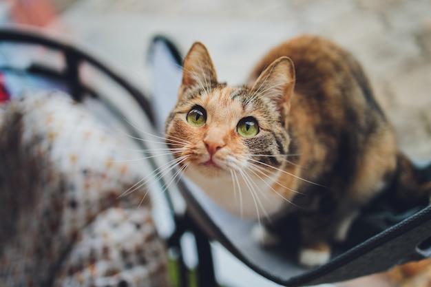 Retrato de pequeño gatito tricolor de un gato.