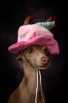 Retrato de un pequeño perro galgo italiano con sombrero de feliz cumpleaños