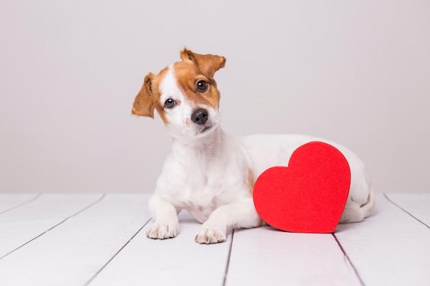 Retrato de un pequeño perro joven lindo que se sienta en el piso. corazón rojo al lado de él.