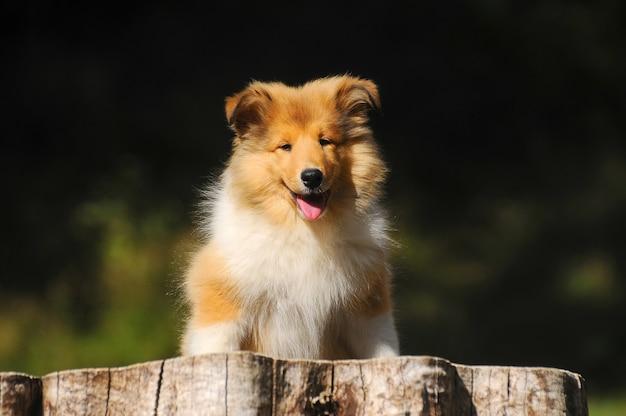 Retrato de perro áspero collie