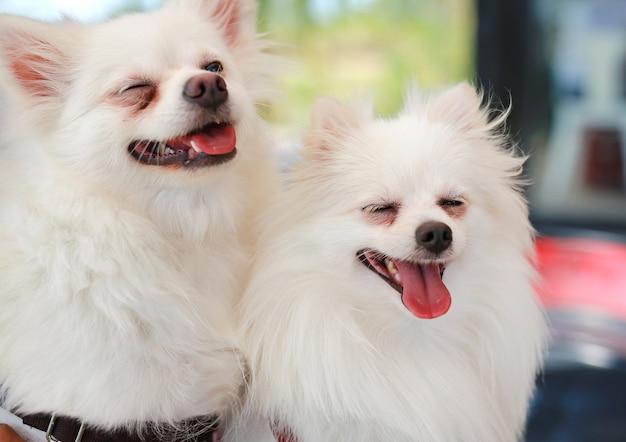 Retrato del perro blanco de pomerania