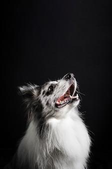 Retrato de perro border collie lindo