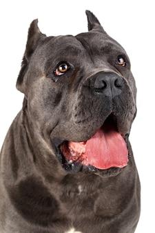 Retrato de perro cane corso aislado