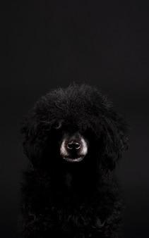 Retrato de perro caniche negro con nariz blanca y peinado afro
